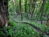 wild-garlic-in-tom-wood_web
